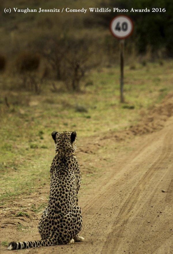 Гепард и ограничение скорости