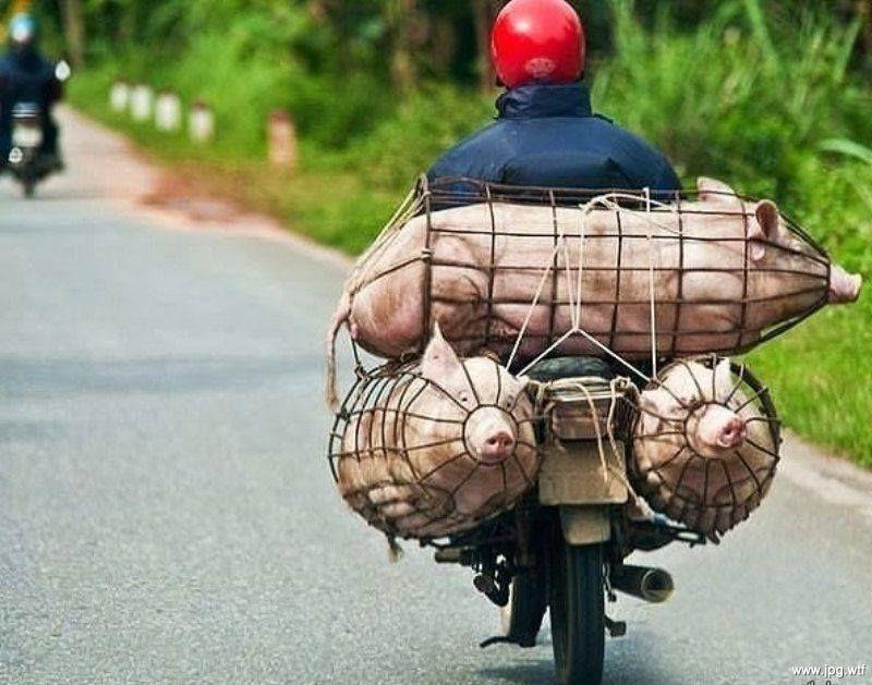 Перевозка свиней на мотоцикле